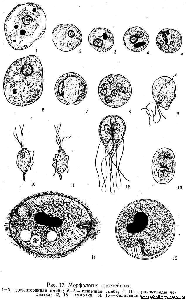 Микробиология Простейшие Форма входа