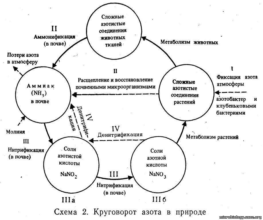 Микробиология - Круговорот
