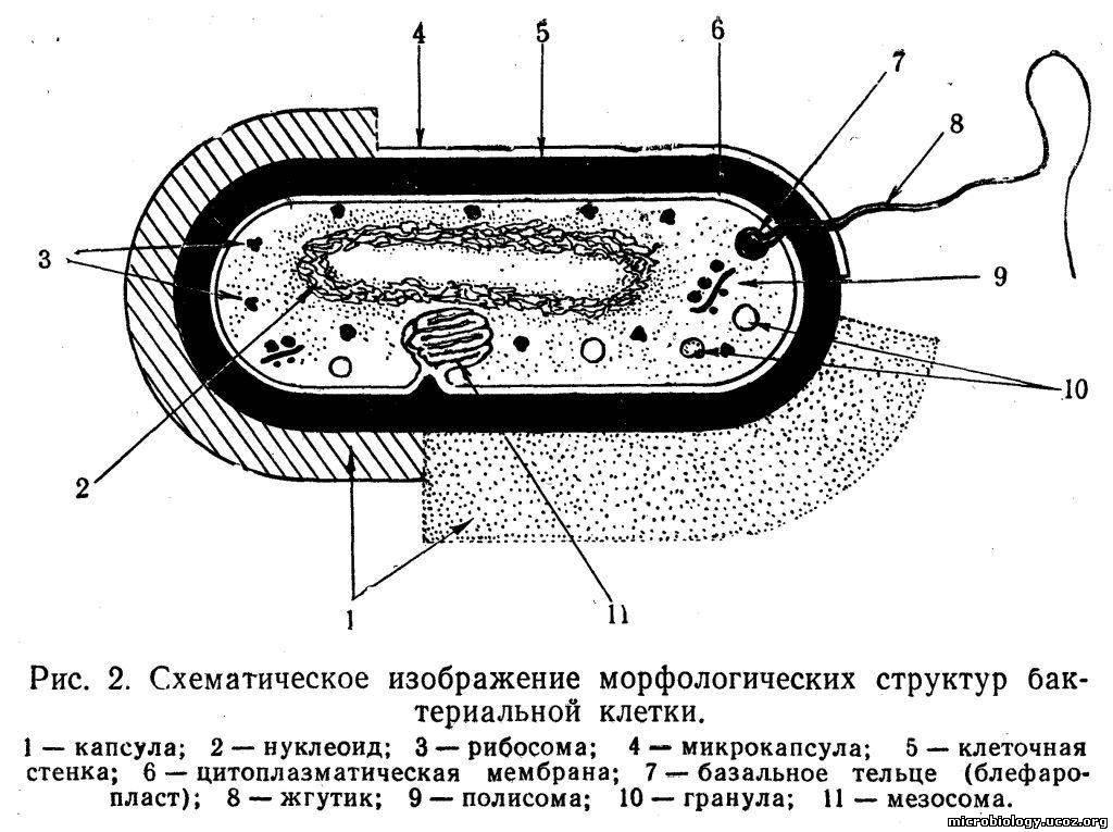 Бактериальная клетка состоит