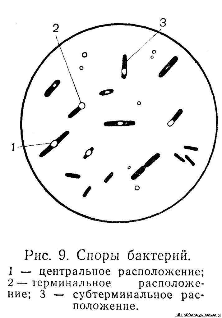 У бактерий других видов оно